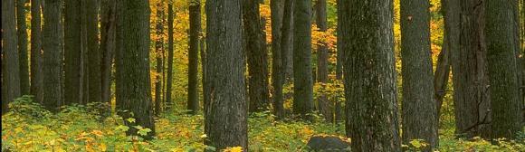 maple-trees-123.jpg